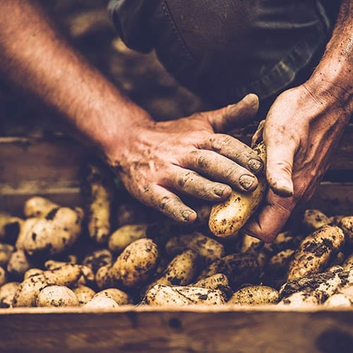 Man cleaning his potatoes - agriculture image