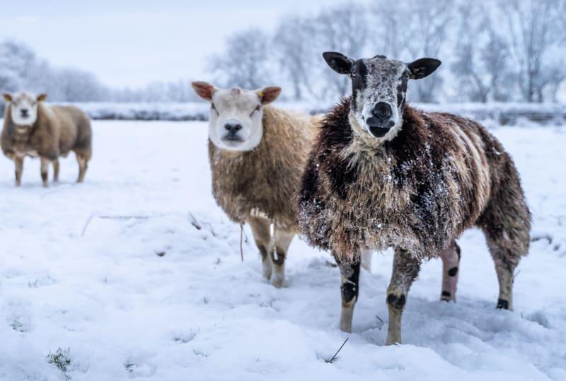 Snowy Sheep In Field